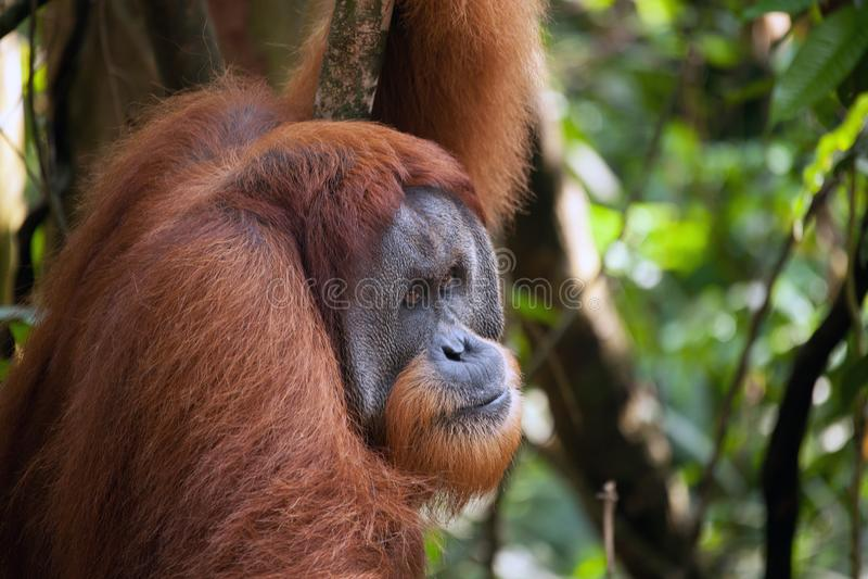 Orangotango masculino no parque nacional de Sumatra imagem de stock