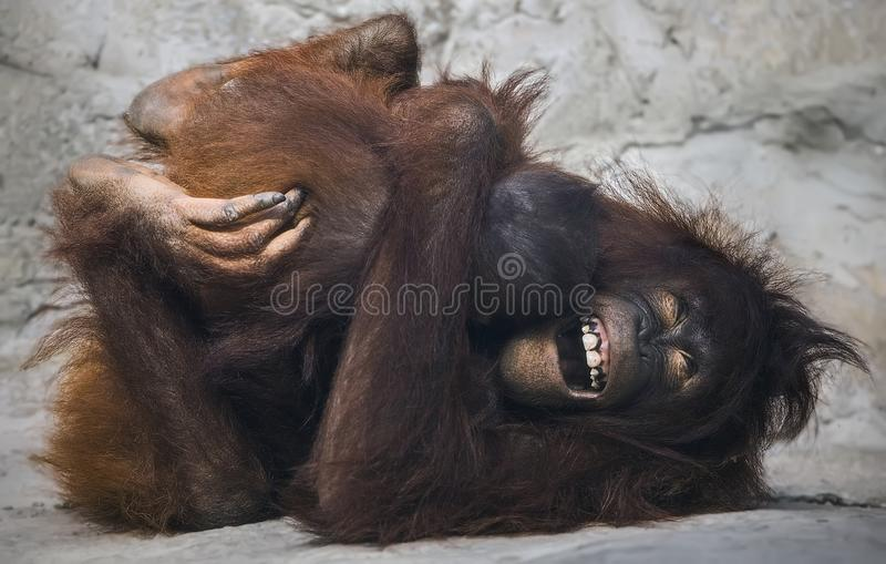 Orangotango Mirthful no jardim zoológico do parque do ` s Lowry de Tampa imagens de stock royalty free