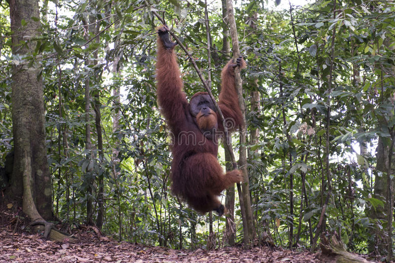 Orangotango na selva sumatra fotografia de stock royalty free
