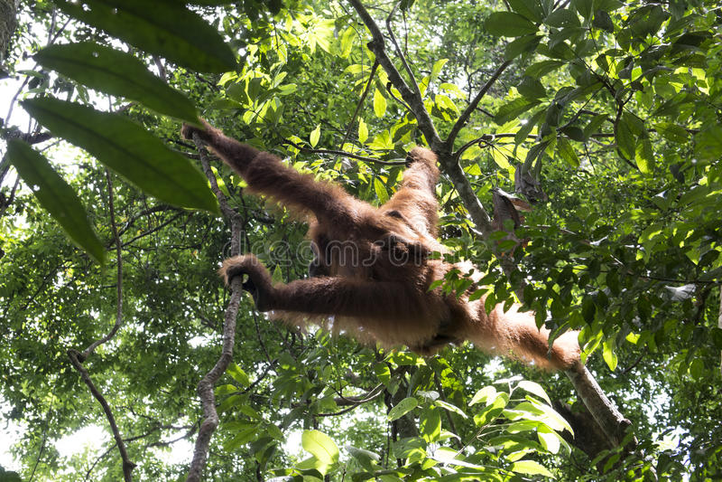 Orangotango na selva sumatra imagens de stock