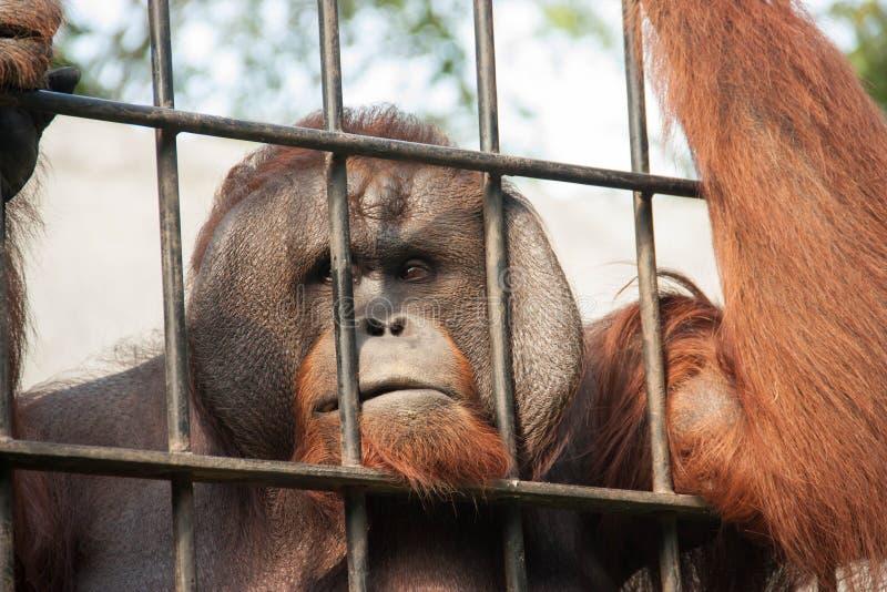 Orangotango no captiveiro imagens de stock
