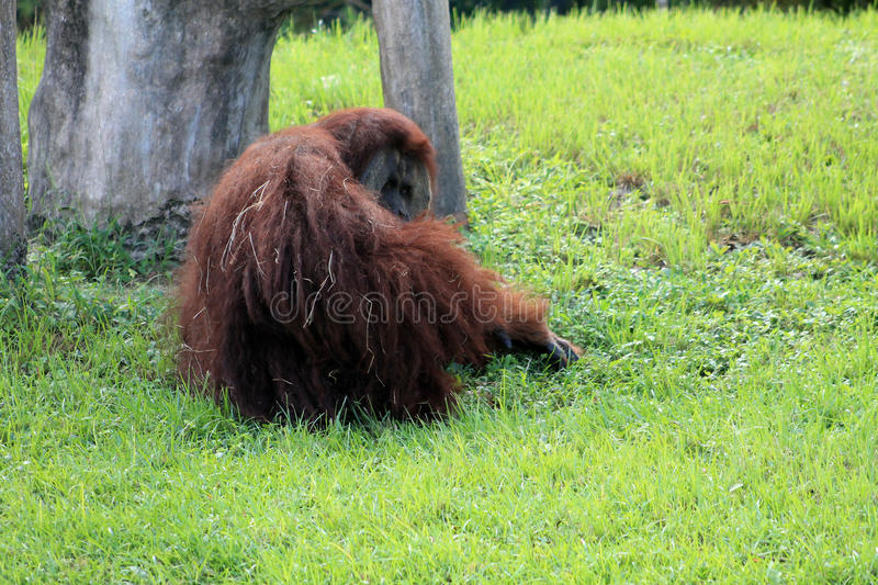 Orangotango no jardim zoológico foto de stock