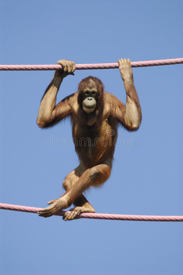 Orangotango no jardim zoológico imagem de stock royalty free