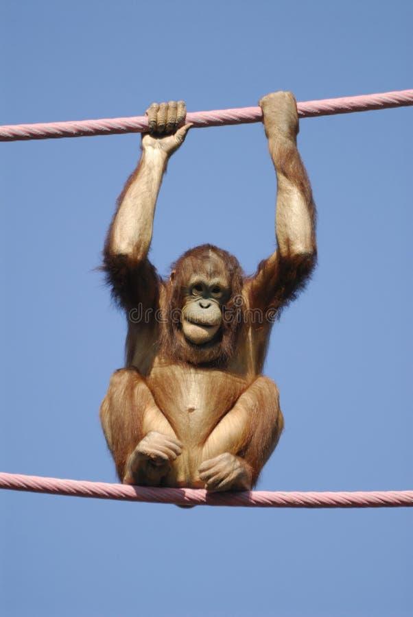 Orangotango no jardim zoológico imagens de stock royalty free