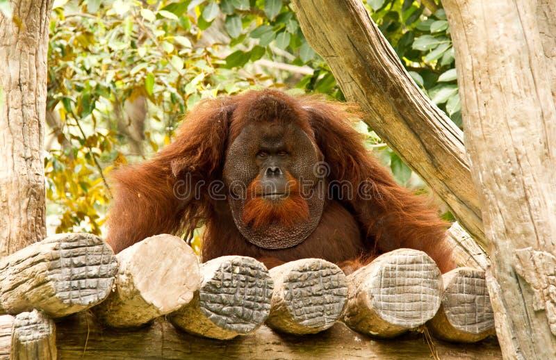 Download Orangotango No Jardim Zoológico Tailândia Do Chiangmai Imagem de Stock - Imagem de câmera, saliência: 26506783