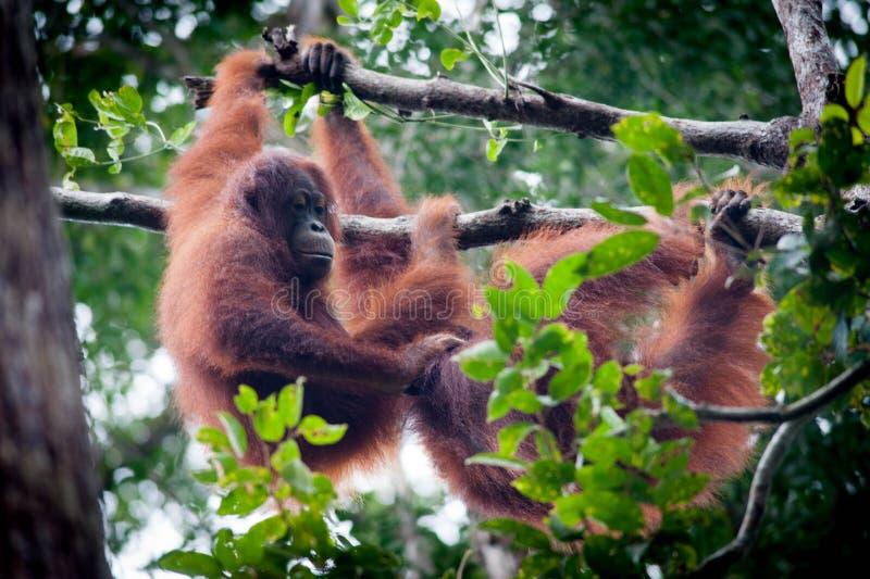 Orangotango no tanjung que põe o parque nacional imagem de stock