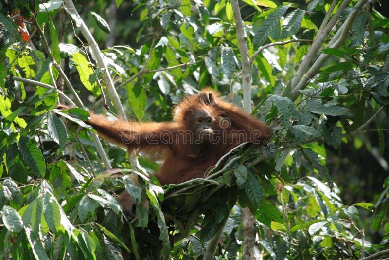 Orangotango pensativo imagens de stock