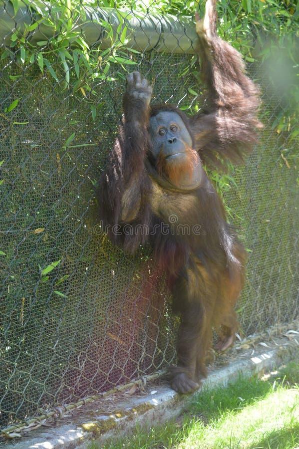 Orangotango que pendura para fora foto de stock