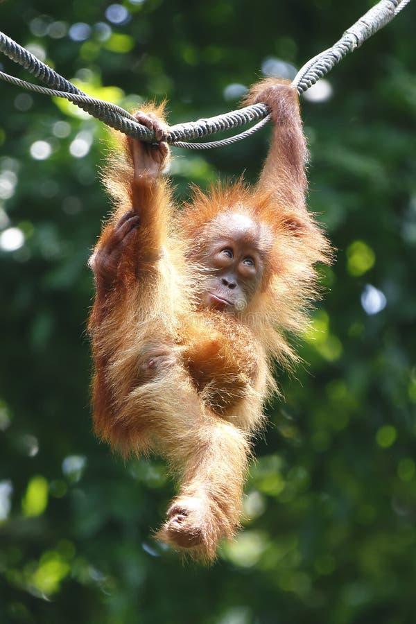 Orangotango Utan 1 fotografia de stock royalty free