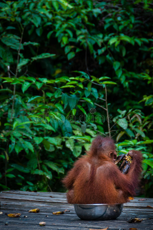 Orangotango Utan do bebê que senta-se em uma bacia Indonésia imagem de stock royalty free