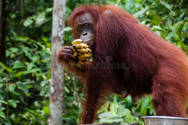 Orangotango Utan que come bananas em Bornéu Indonésia fotos de stock