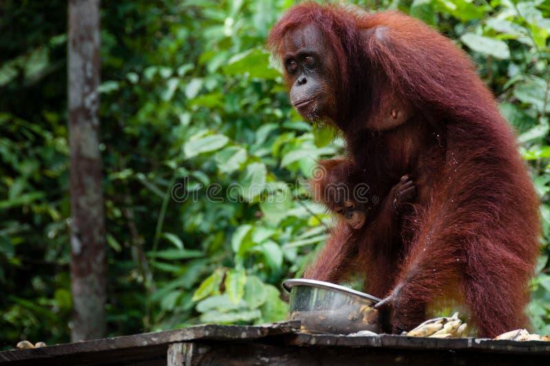 Orangotango Utan que come em Bornéu Indonésia fotografia de stock