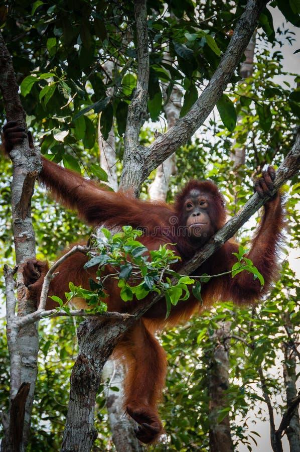 Orangotango Utan que senta-se em uma árvore em Bornéu Indonésia fotografia de stock