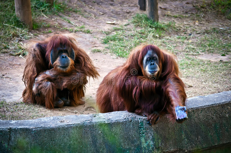 Orangs-outans. photographie stock