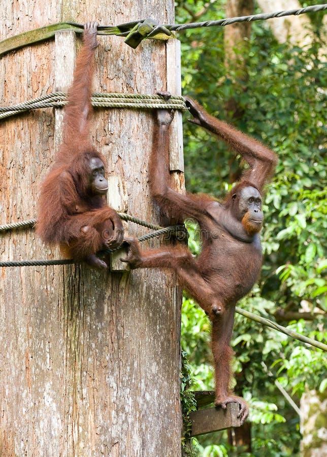 Orangs-outans photo libre de droits