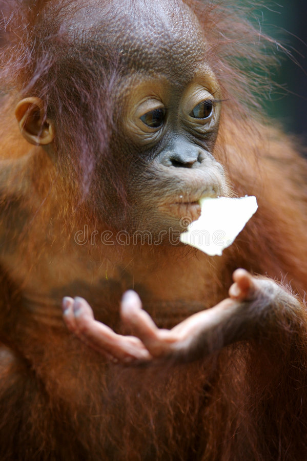 Orangs-outans image stock