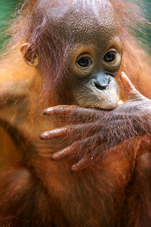 Orangs-outans images stock