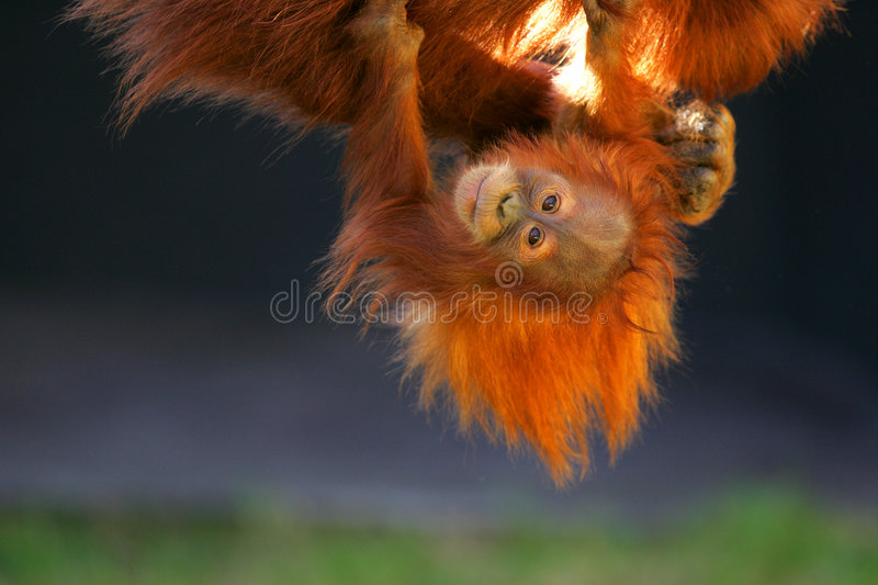 Orangs-outans photographie stock