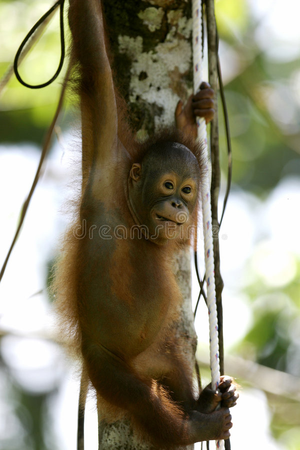 orangs-outans image libre de droits