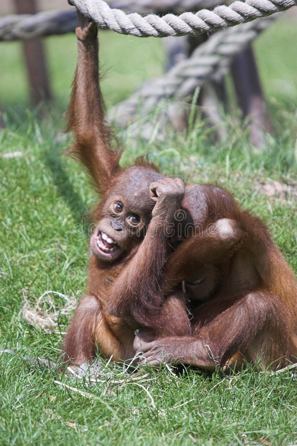 Orangs-outans bruyants image stock