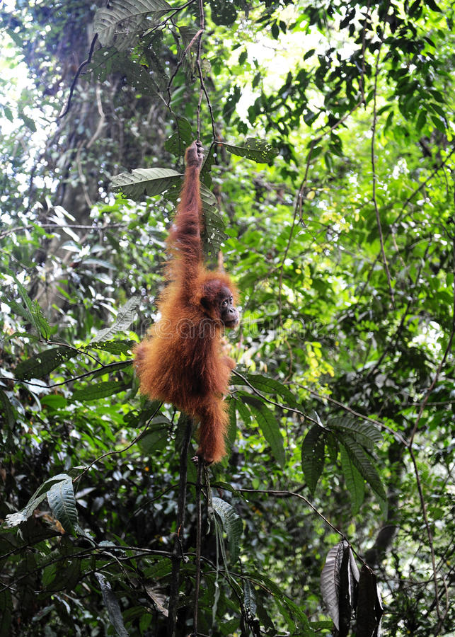 Orangs-outans de Sumatran images stock