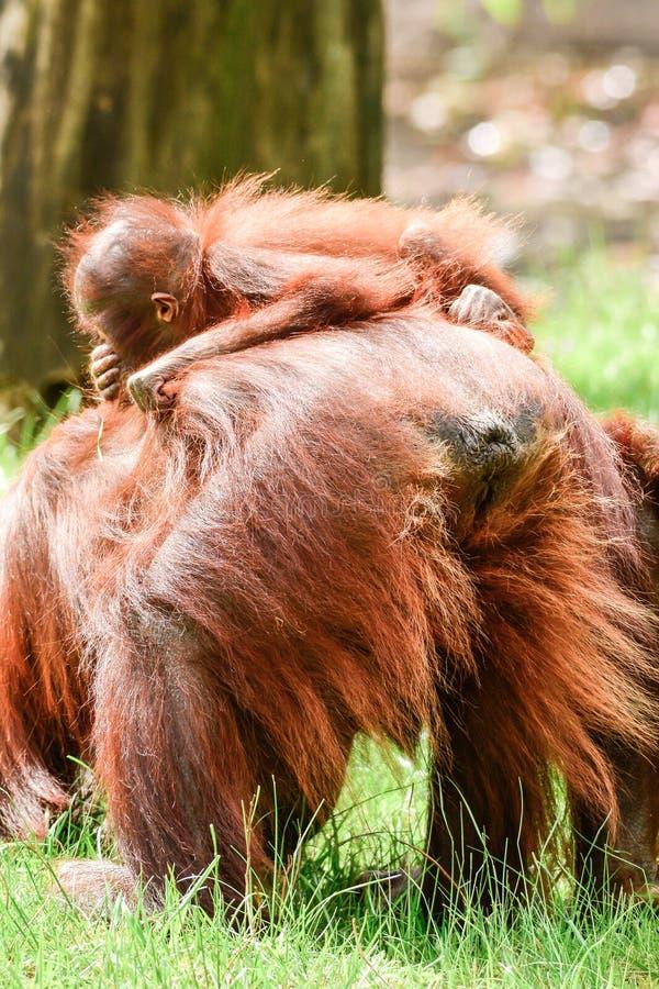 Orangs-outans du Bornéo, mère et son jouer de bébé photographie stock libre de droits