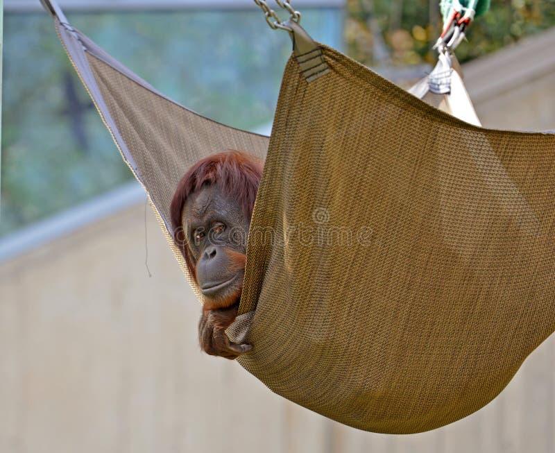 Oranguntan in einer Hängematte lizenzfreies stockfoto
