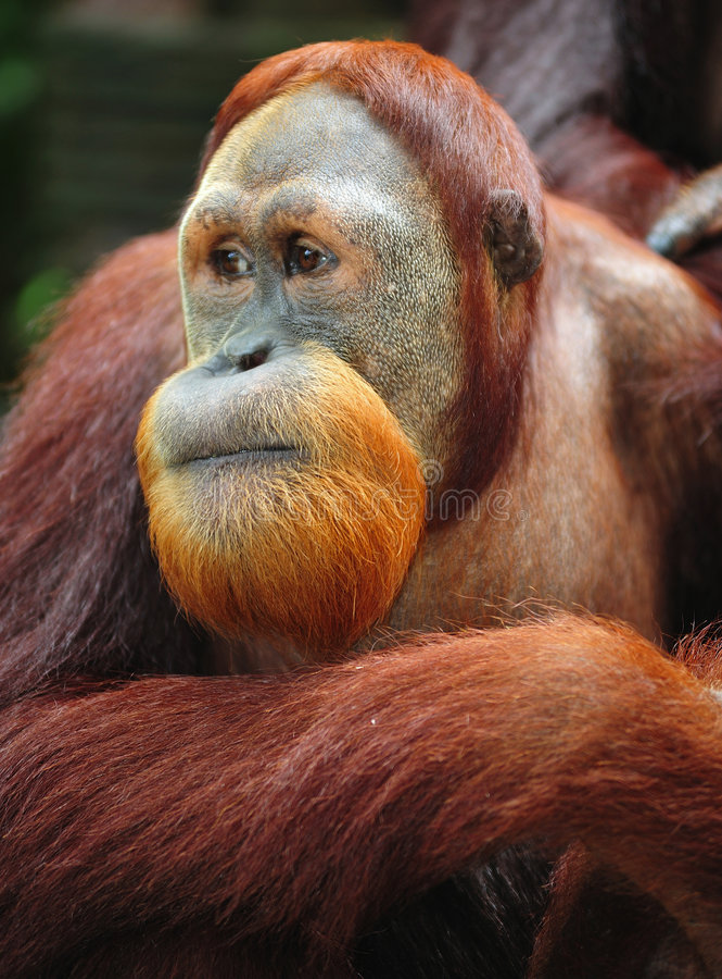 Orangután imagenes de archivo
