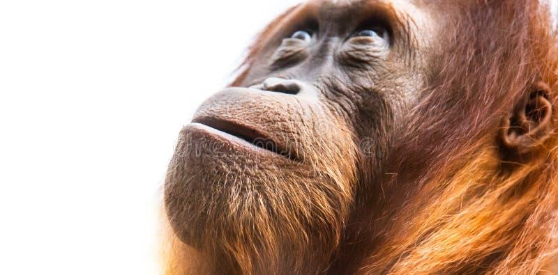 Orangután, aka orangután u orangutang Retrato detallado de la cara foto de archivo