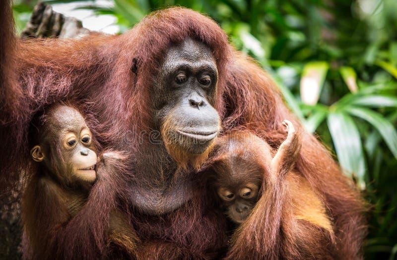 Orangután con dos bebés fotografía de archivo libre de regalías