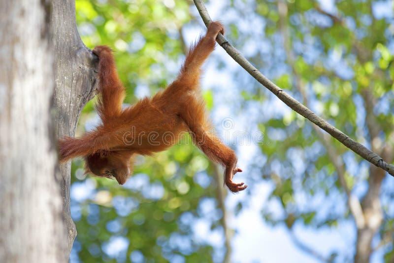 Orangután de Borneo foto de archivo libre de regalías