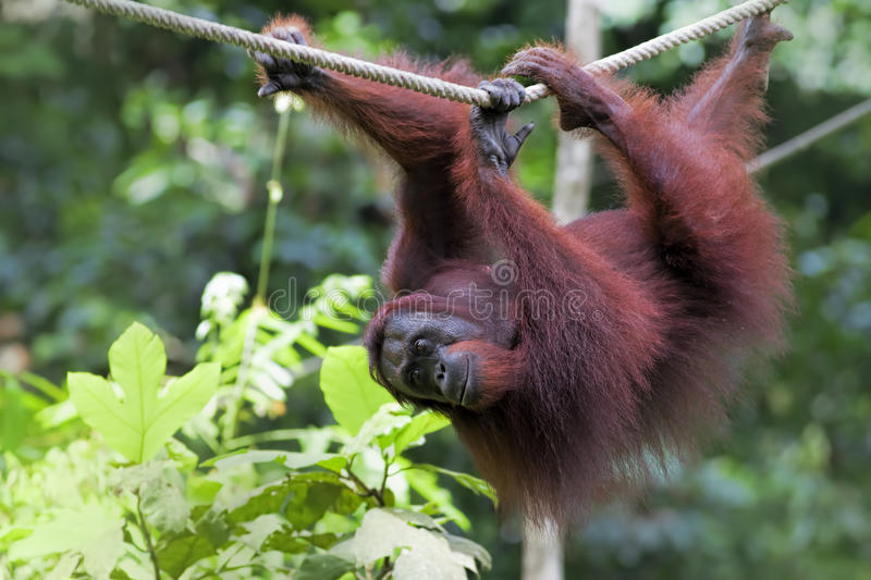 Orangután de Borneo fotos de archivo