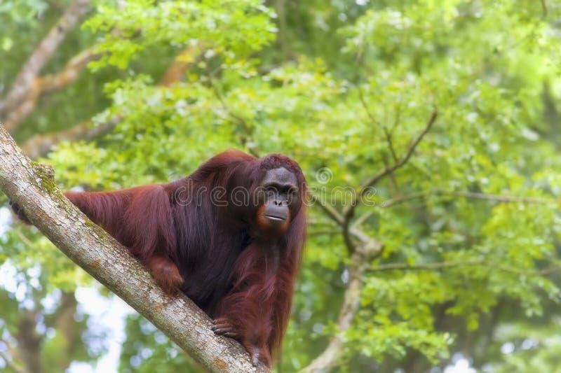 Orangután de Borneo foto de archivo