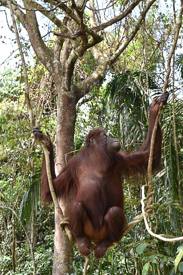 Orangután de Borneo en el centro de rehabilitación de Sandakan, Sepilok Sandakan, Sabah Malasia, Borneo fotos de archivo libres de regalías