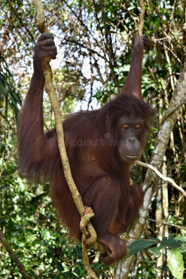 Orangután de Borneo en el centro de rehabilitación de Sandakan, Sepilok Sandakan, Sabah Malasia, Borneo imagen de archivo libre de regalías