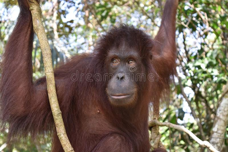 Orangután de Borneo en el centro de rehabilitación de Sandakan, Sepilok Sandakan, Sabah Malasia, Borneo foto de archivo