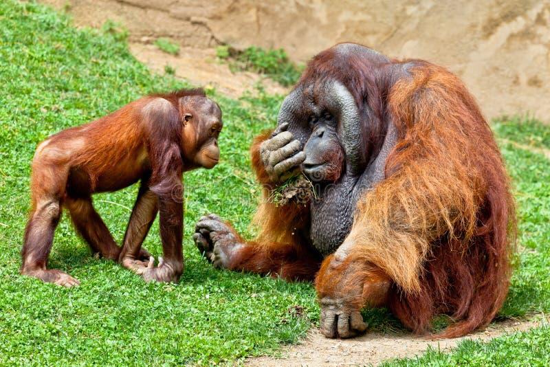 Orangután de Borneo, Pongo Pygmaeus imagenes de archivo