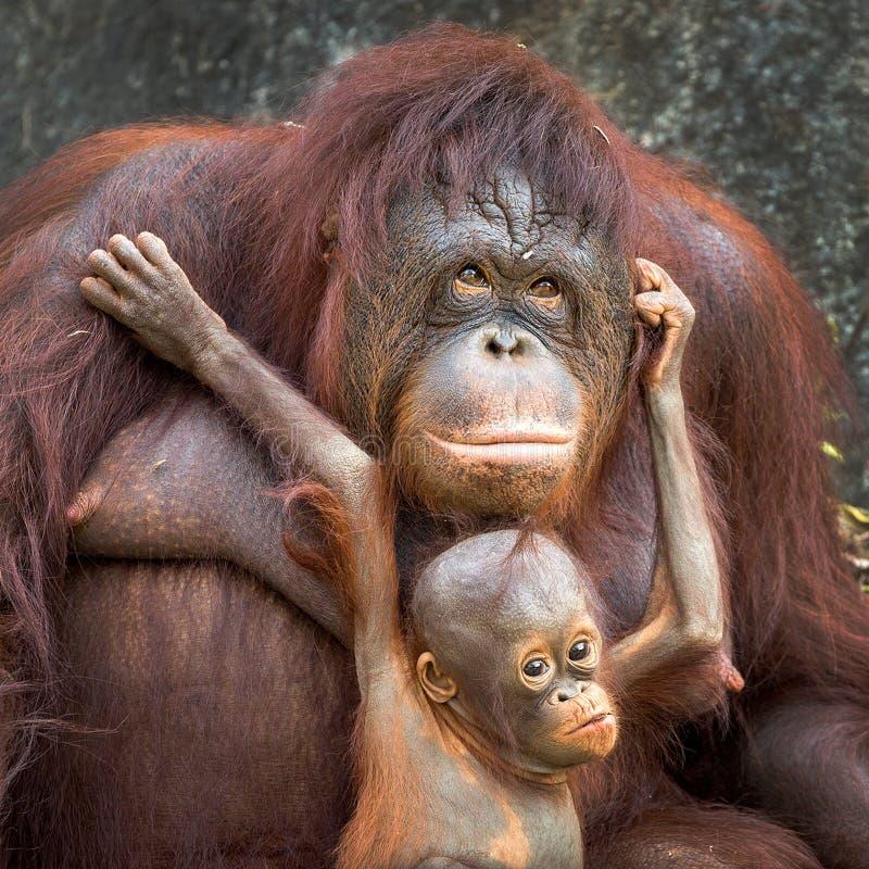 Orangután de la madre y del bebé imagenes de archivo