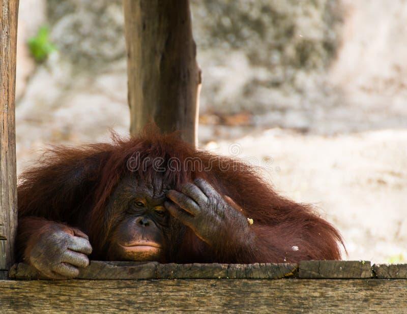 Orangután de pensamiento foto de archivo