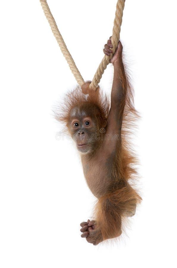 Orangután de Sumatran del bebé que cuelga en cuerda foto de archivo
