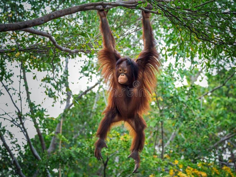 Orangután del bebé foto de archivo libre de regalías