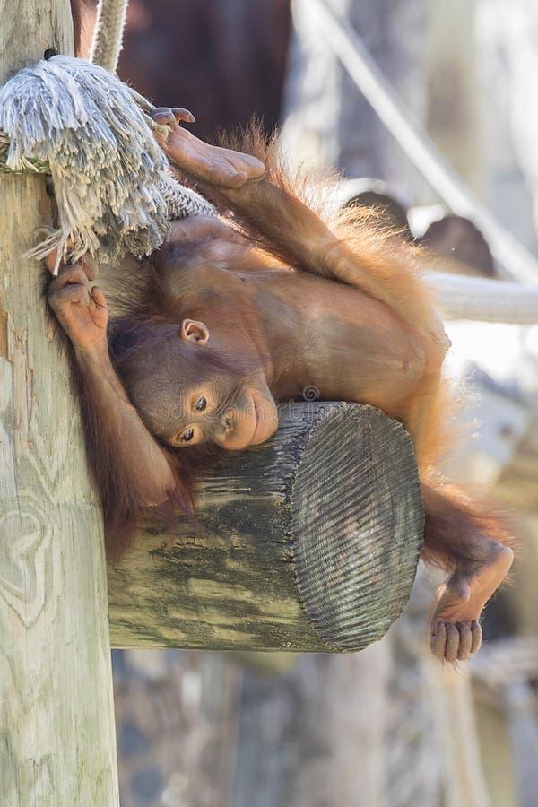 Orangután del bebé distraído o pensamiento fotos de archivo
