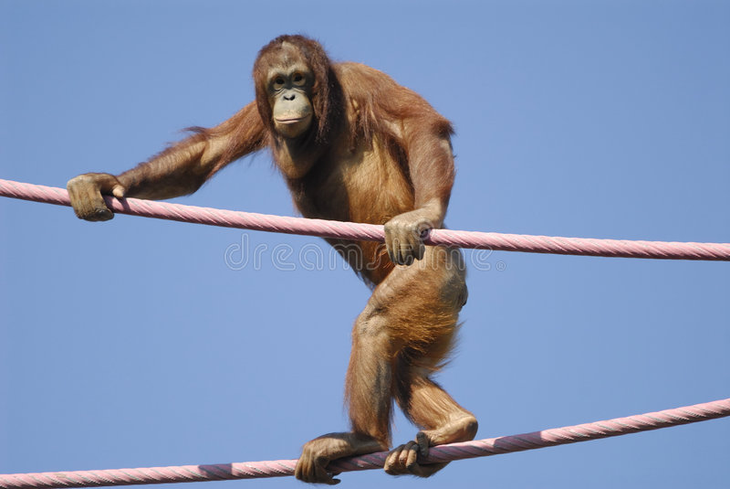 Orangután en el parque zoológico fotos de archivo