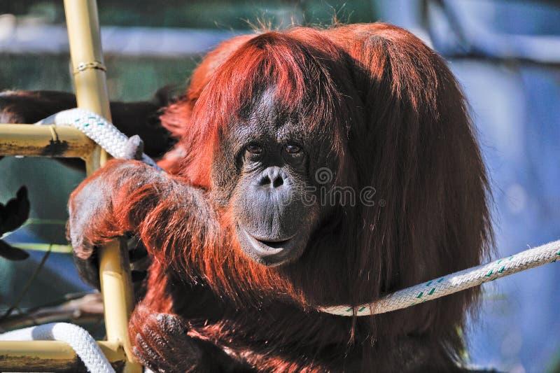 Orangután en parque zoológico imagen de archivo libre de regalías