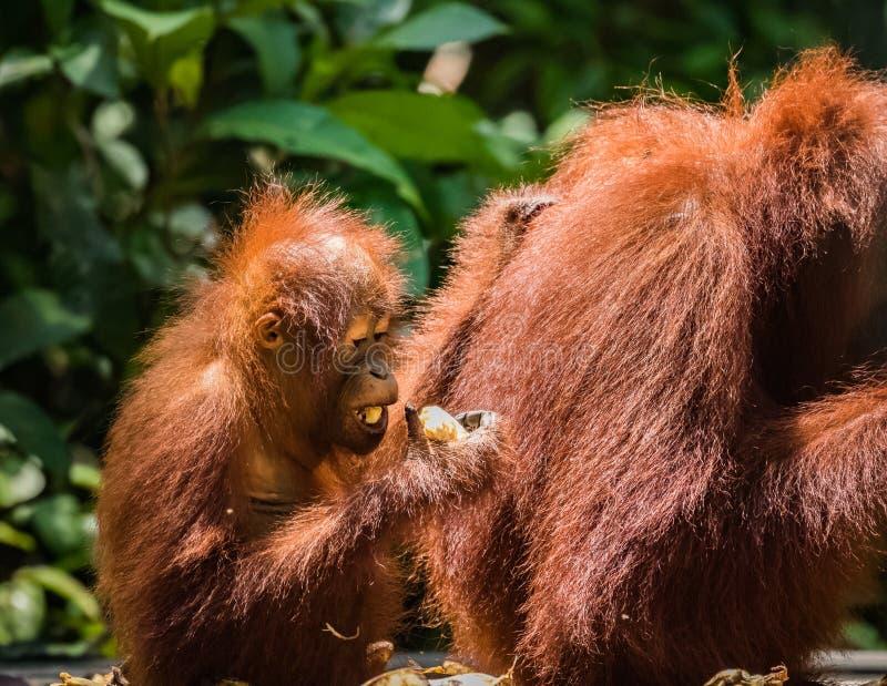 Orangután en salvaje imagen de archivo libre de regalías
