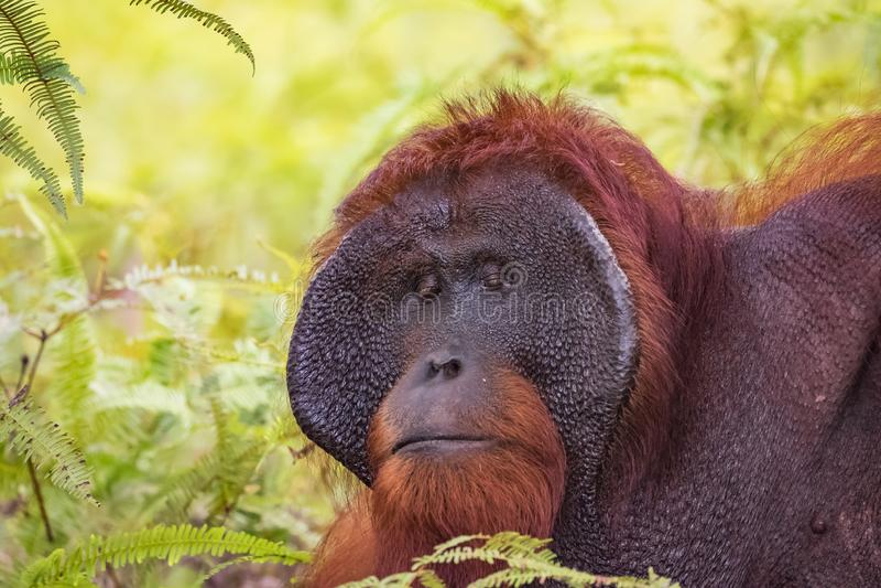 Orangután en salvaje fotografía de archivo