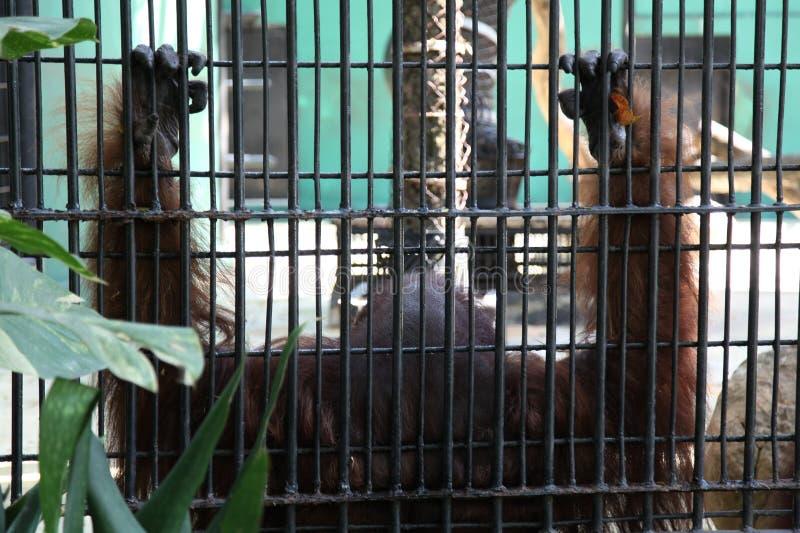 orangután enjaulado imagen de archivo