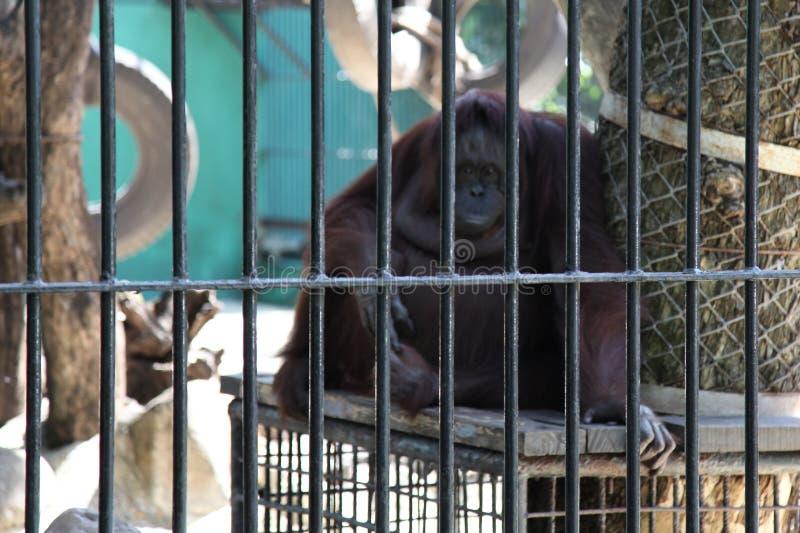 orangután enjaulado imagen de archivo libre de regalías