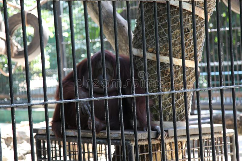 orangután enjaulado imagenes de archivo