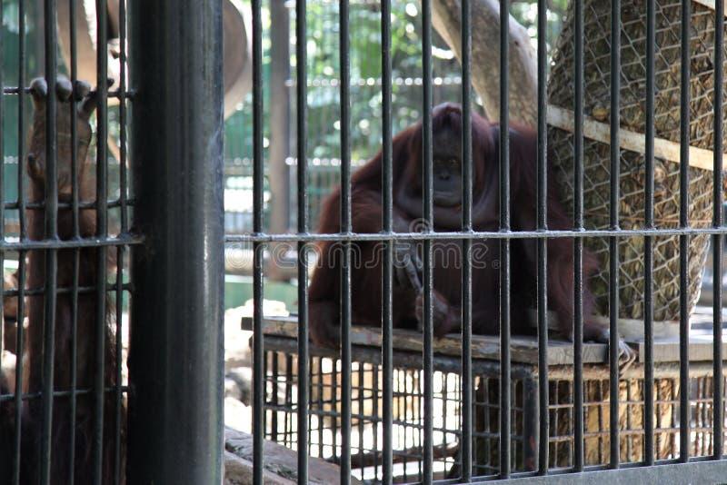 orangután enjaulado fotografía de archivo